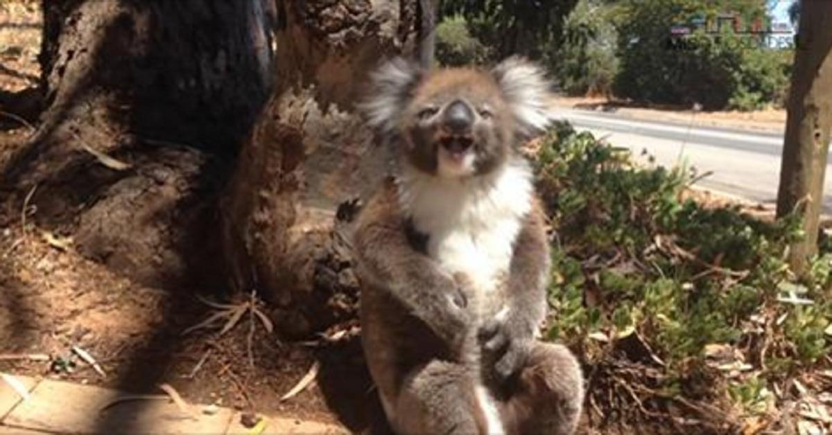 El triste llanto de un koala que fue despojado de su árbol
