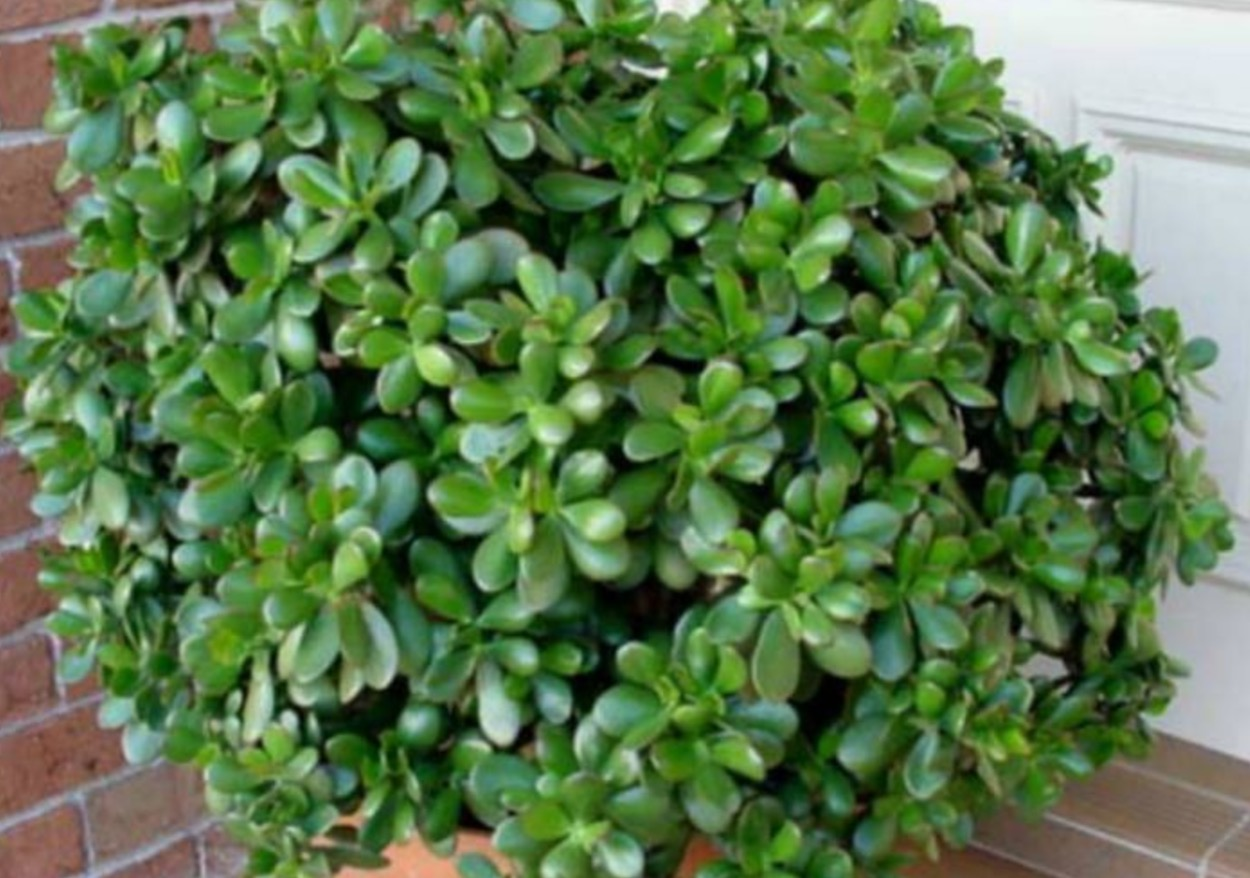 Esta planta que es beneficioso para los negocios y la riqueza material