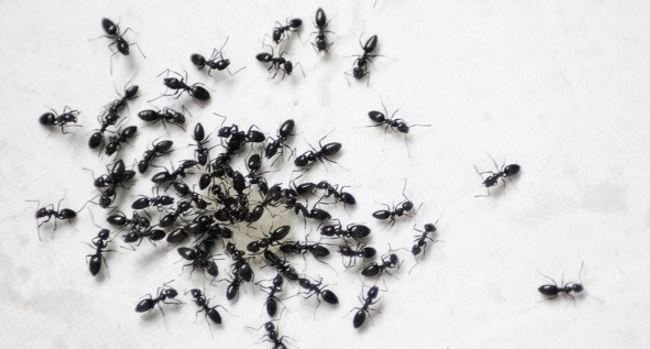 Rocía esta simple mezcla y nunca verás las hormigas en su casa otra vez