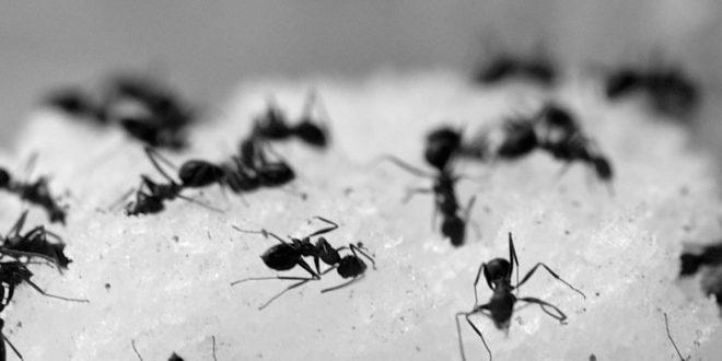 Repelente de hormigas